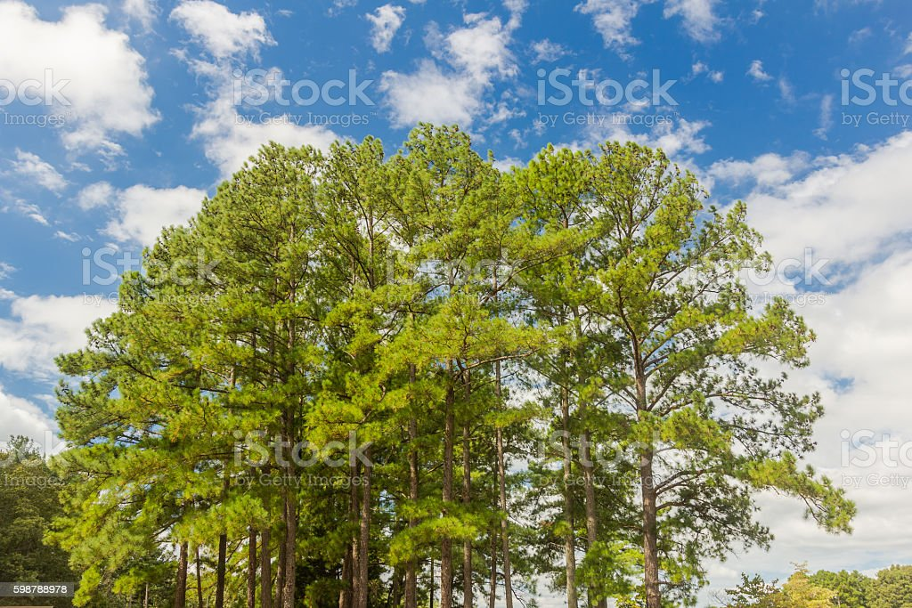 Southern Yellow Pine Trees stock photo