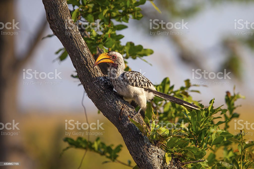 Southern Yellow-billed Hornbill in Botswana stock photo