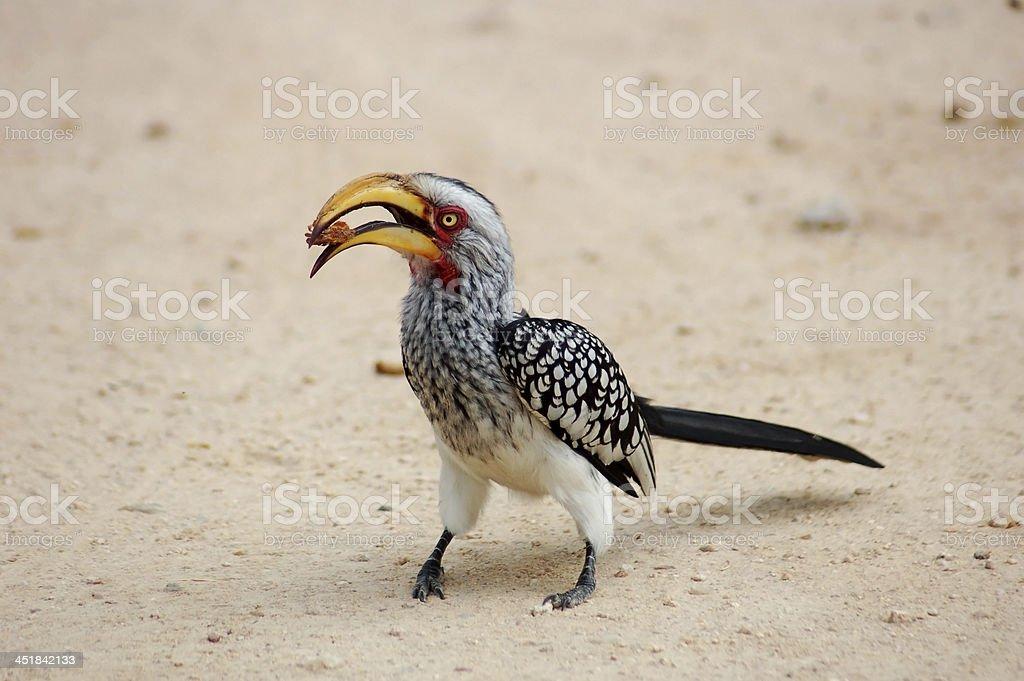 Southern Yellowbilled Hornbill stock photo