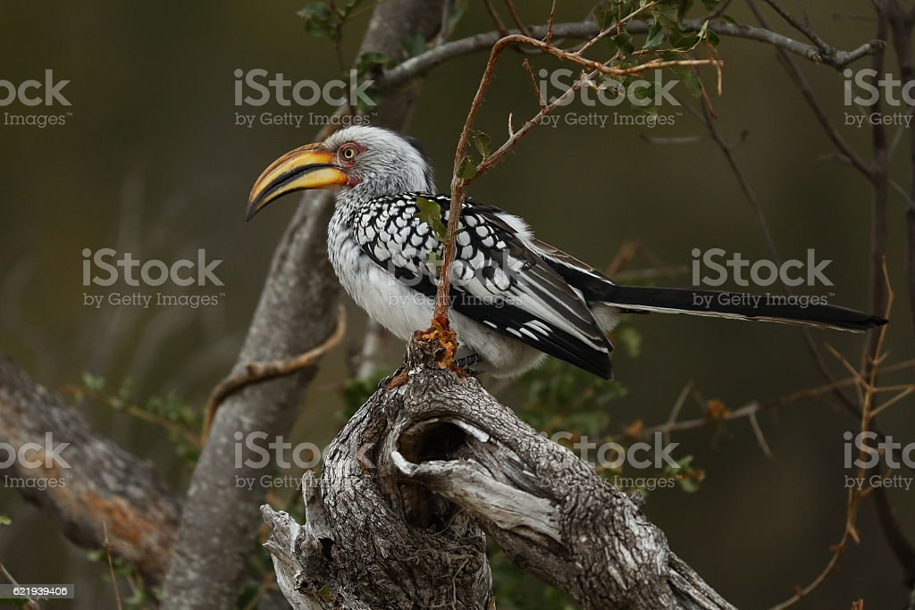 Southern Yellow-Billed Hornbill stock photo