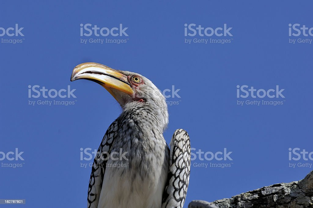 Southern Yellowbilled Hornbill. South Africa stock photo