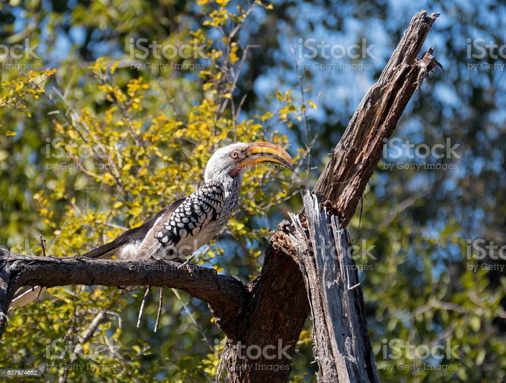 Southern yellow-billed hornbill,Madikwe,South Africa stock photo