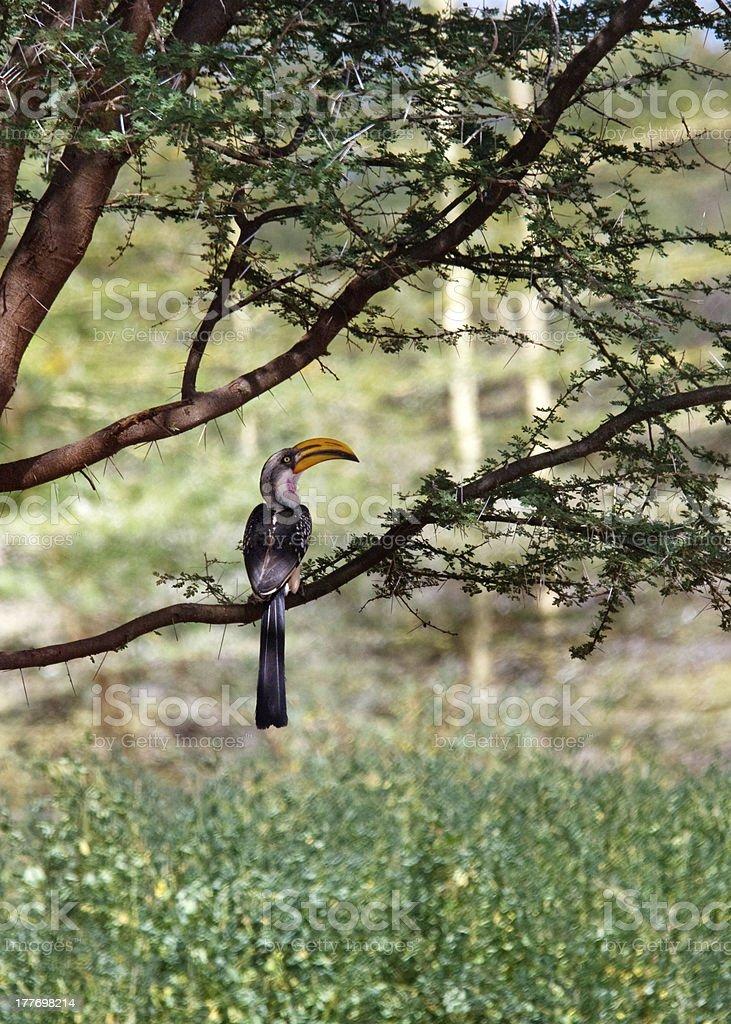 Southern Yellowbilled Hornbill's stock photo