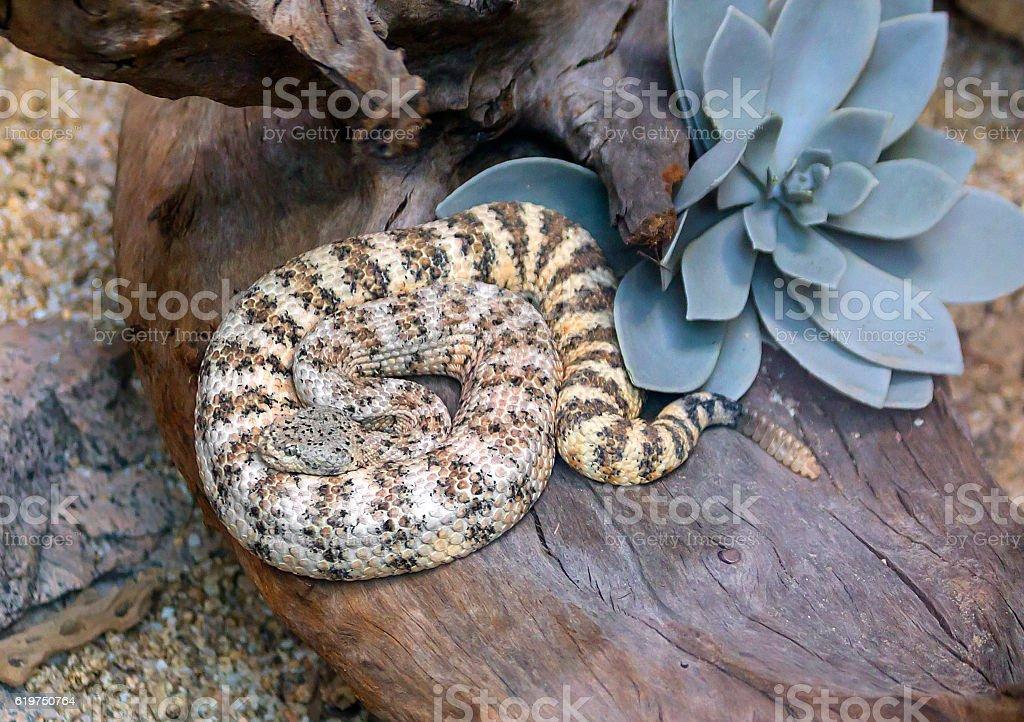 Southwest speckled rattlesnake stock photo