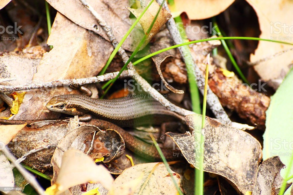 Southwestern Cool Skink hidding under Leaves and Branches, Australia stock photo