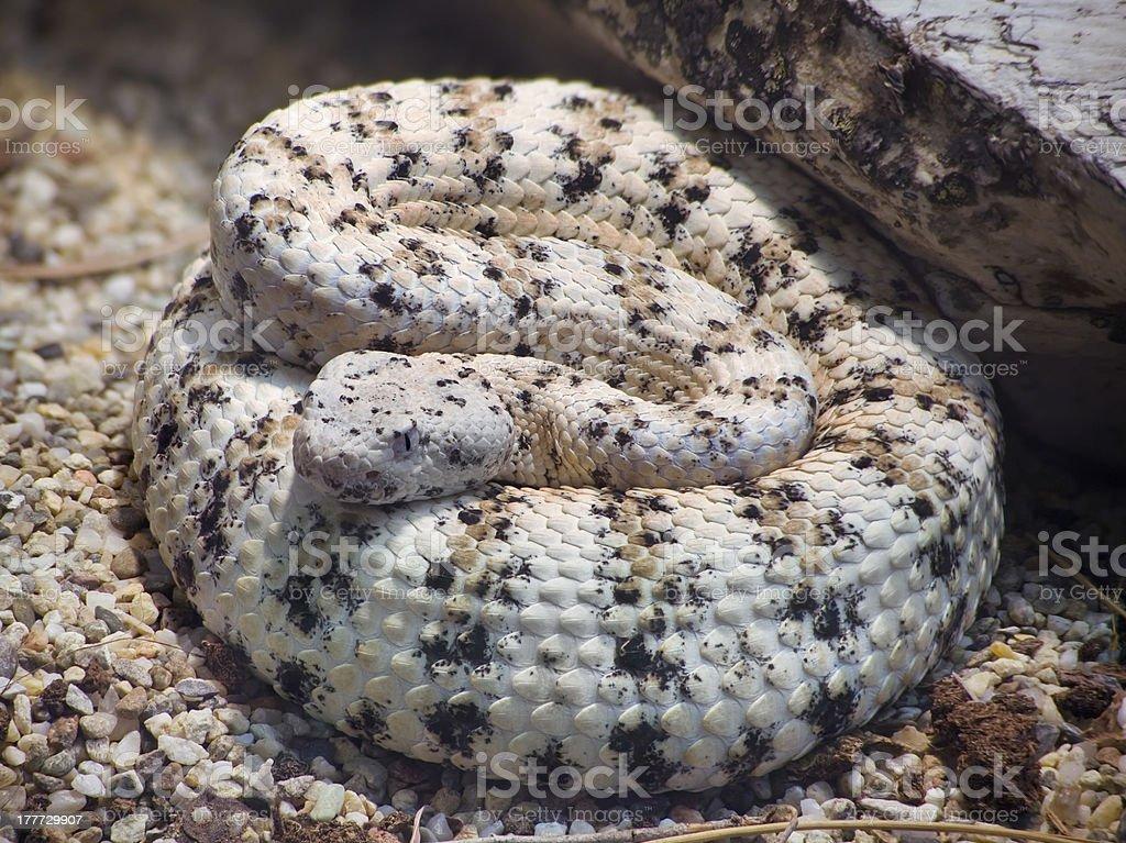 Southwestern Speckled Rattlesnake stock photo
