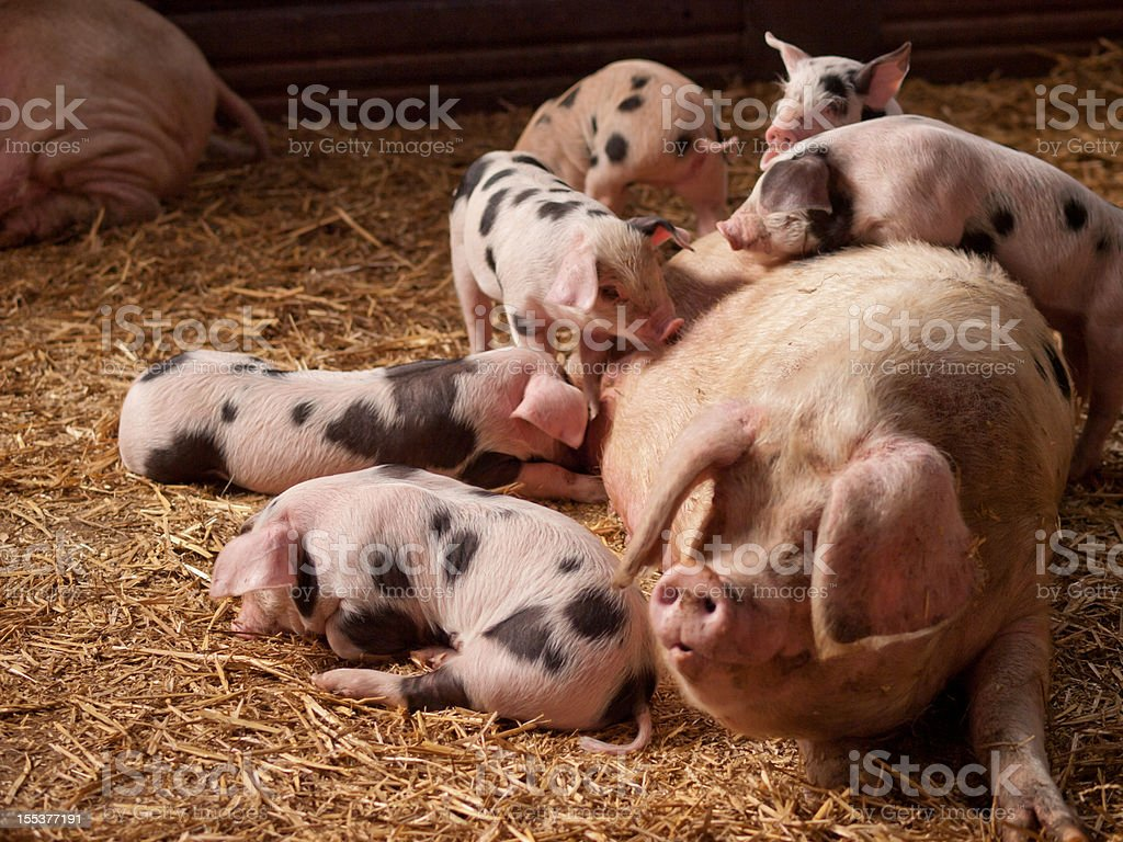 Sow and Piglets royalty-free stock photo