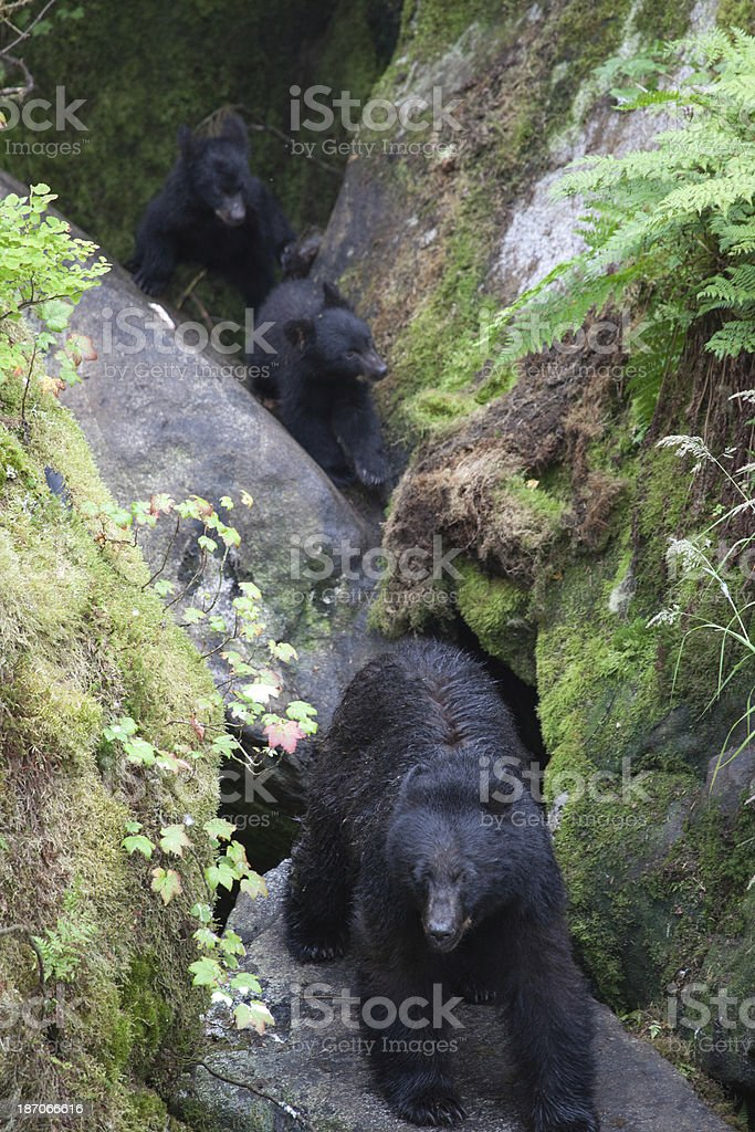 Sow Bear with Cubs stock photo
