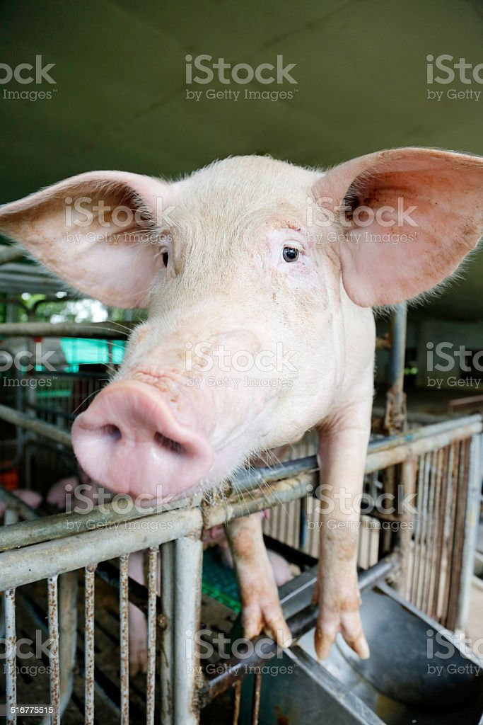 Sow in farrowing stock photo