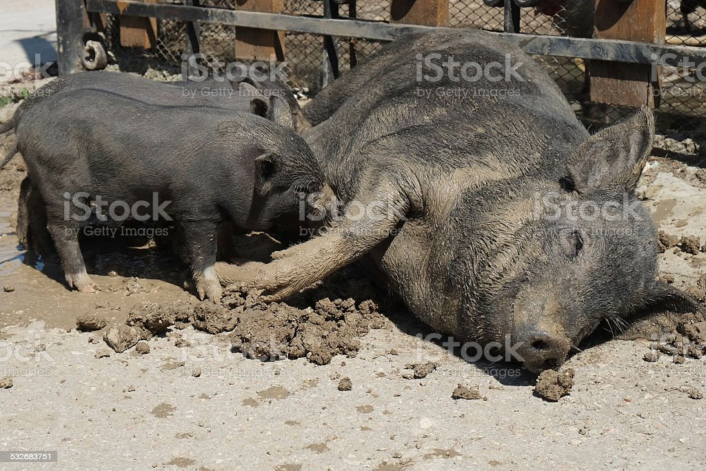 sow stock photo