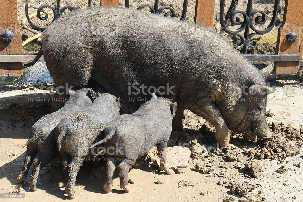 sow stock photo