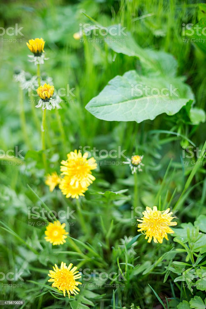 Sow Thistle Beautiful Yellow Spring Flower Fresh Grass Spring Background stock photo