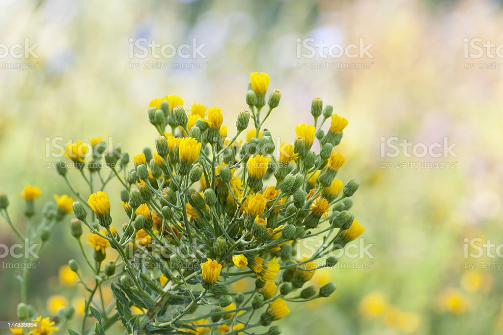 sow thistle, nature background, Sonchus arvensis stock photo
