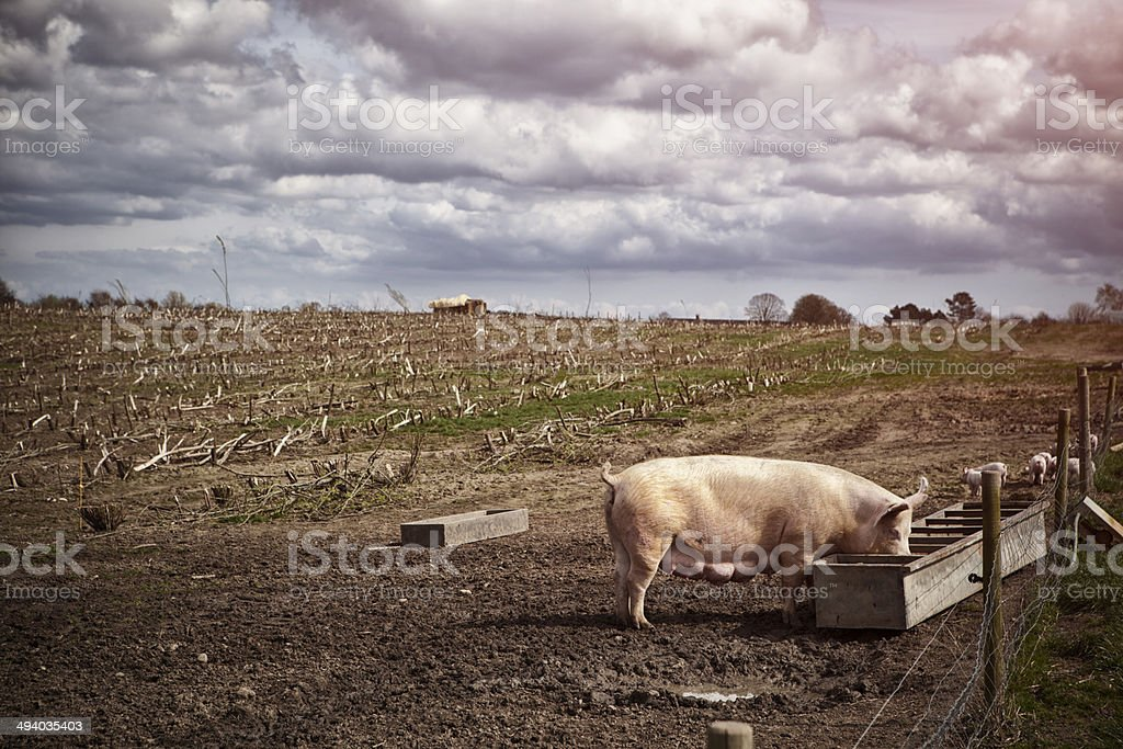 Sow w piglets outdoors. royalty-free stock photo