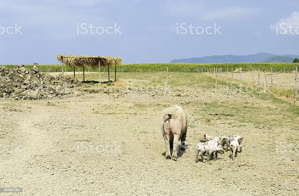 Sow with five piglets stock photo