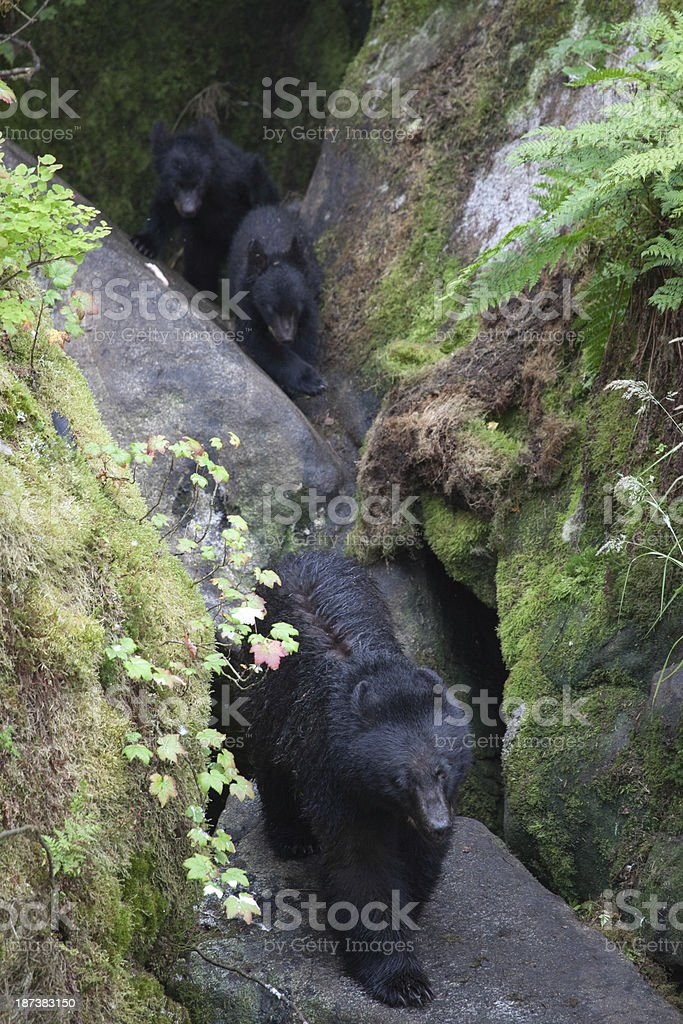 Sow with Two Cubs stock photo