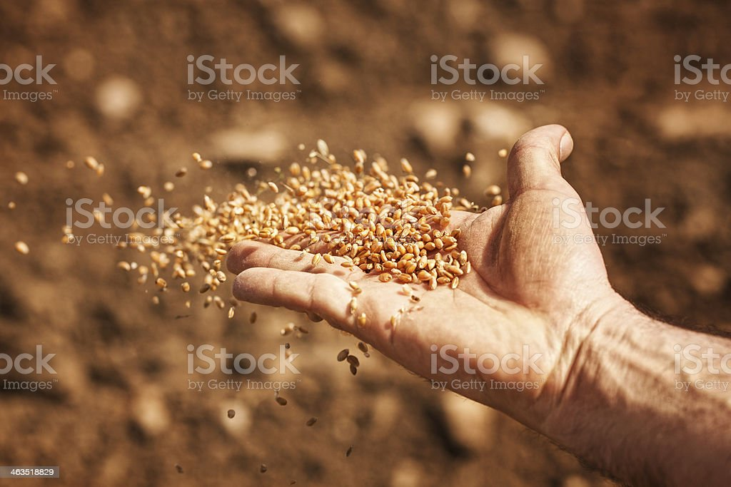 sower's hand with wheat seeds stock photo