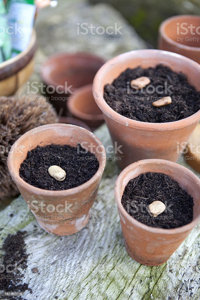 Sowing Bean Seeds in Old Terracotta Pots royalty-free stock photo