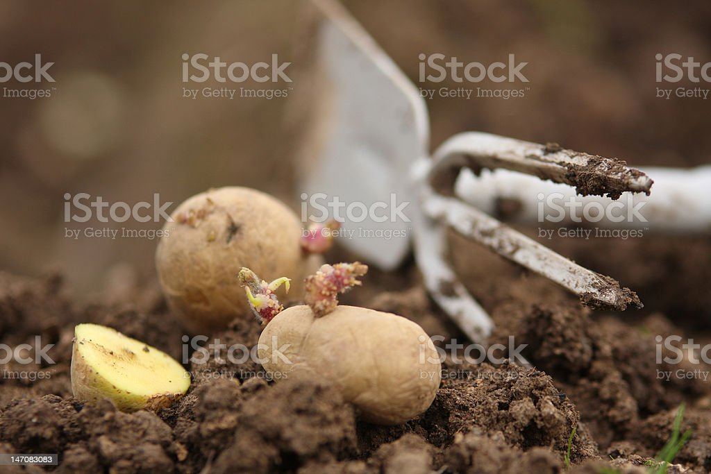 Sowing potatoes stock photo