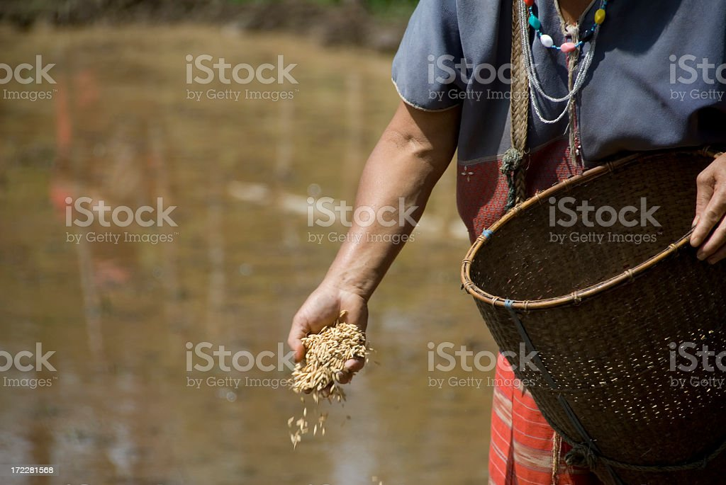 Sowing Rice stock photo