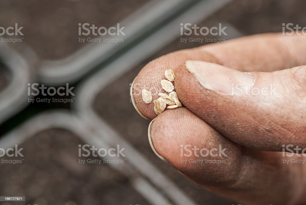 Sowing Tomato Seeds into Soil. royalty-free stock photo