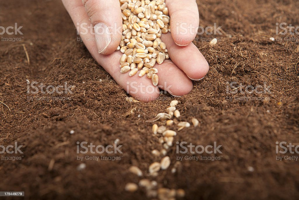Sowing wheat stock photo