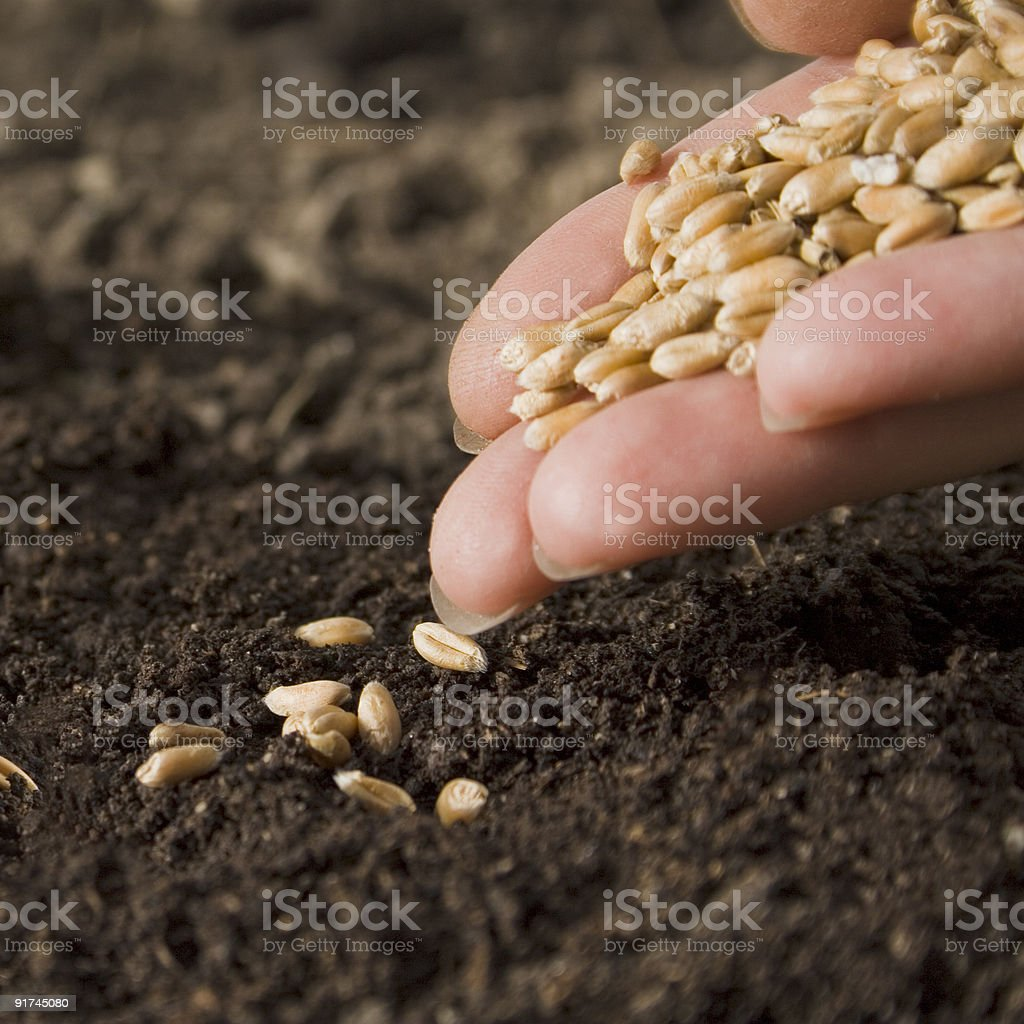 sowing wheat royalty-free stock photo