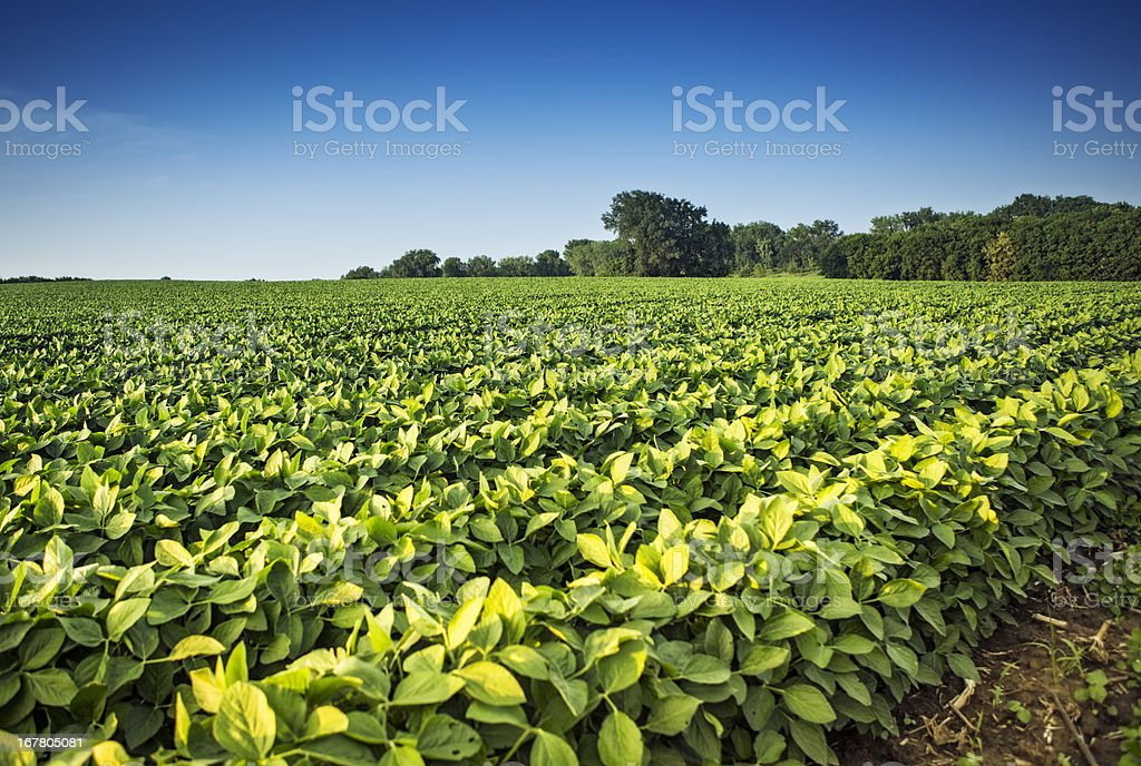 Soy Bean Crops royalty-free stock photo