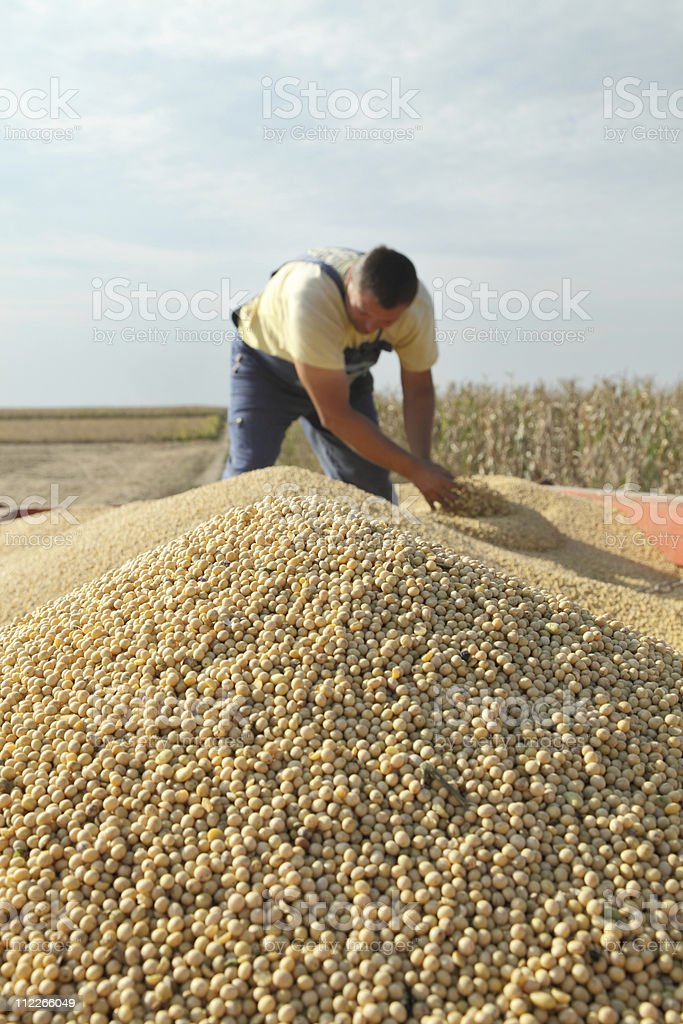 Soy bean harvesting royalty-free stock photo