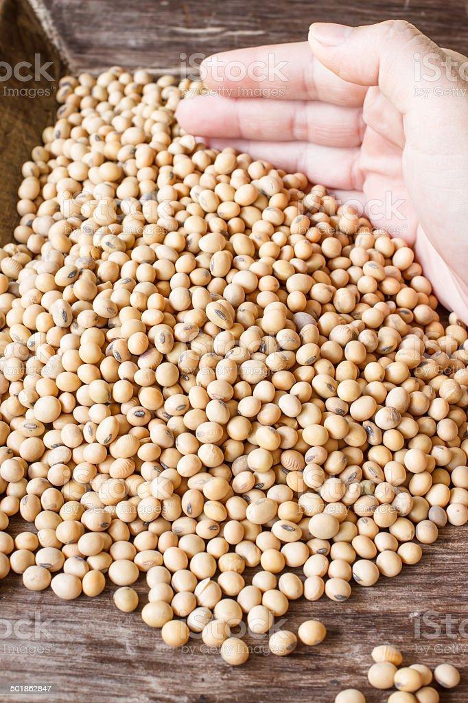 soy bean royalty-free stock photo