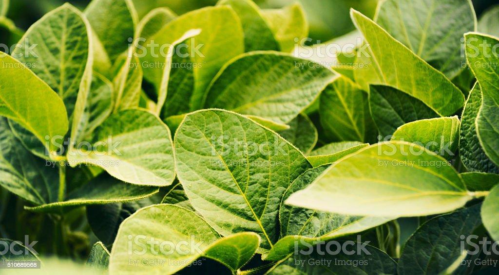 Soy plants. stock photo