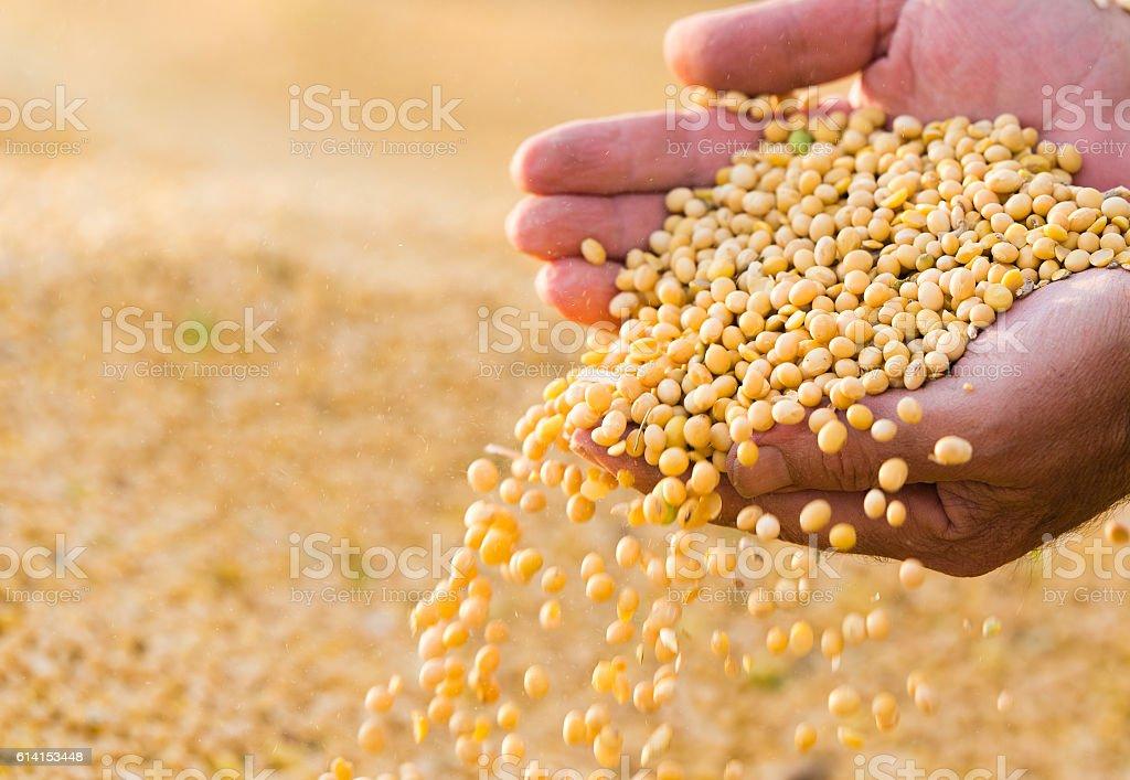 Soya bean seed in hands of farmer stock photo