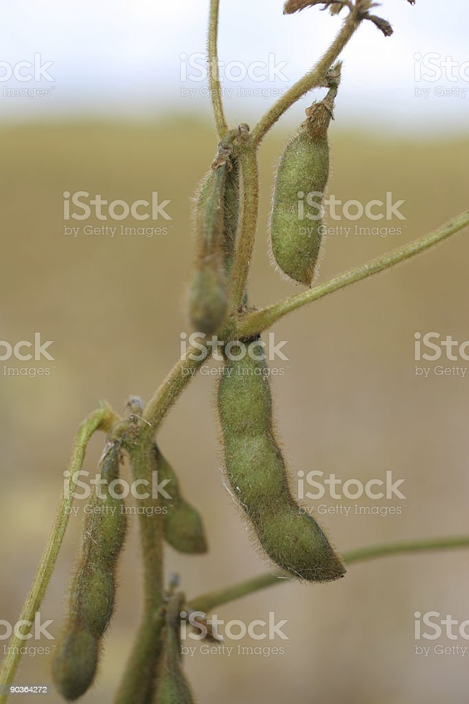 soya beans royalty-free stock photo