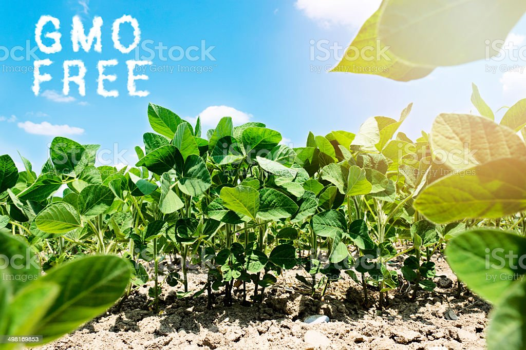 Soyabean field stock photo