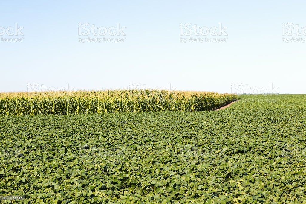 Soybean and Corn Crops stock photo