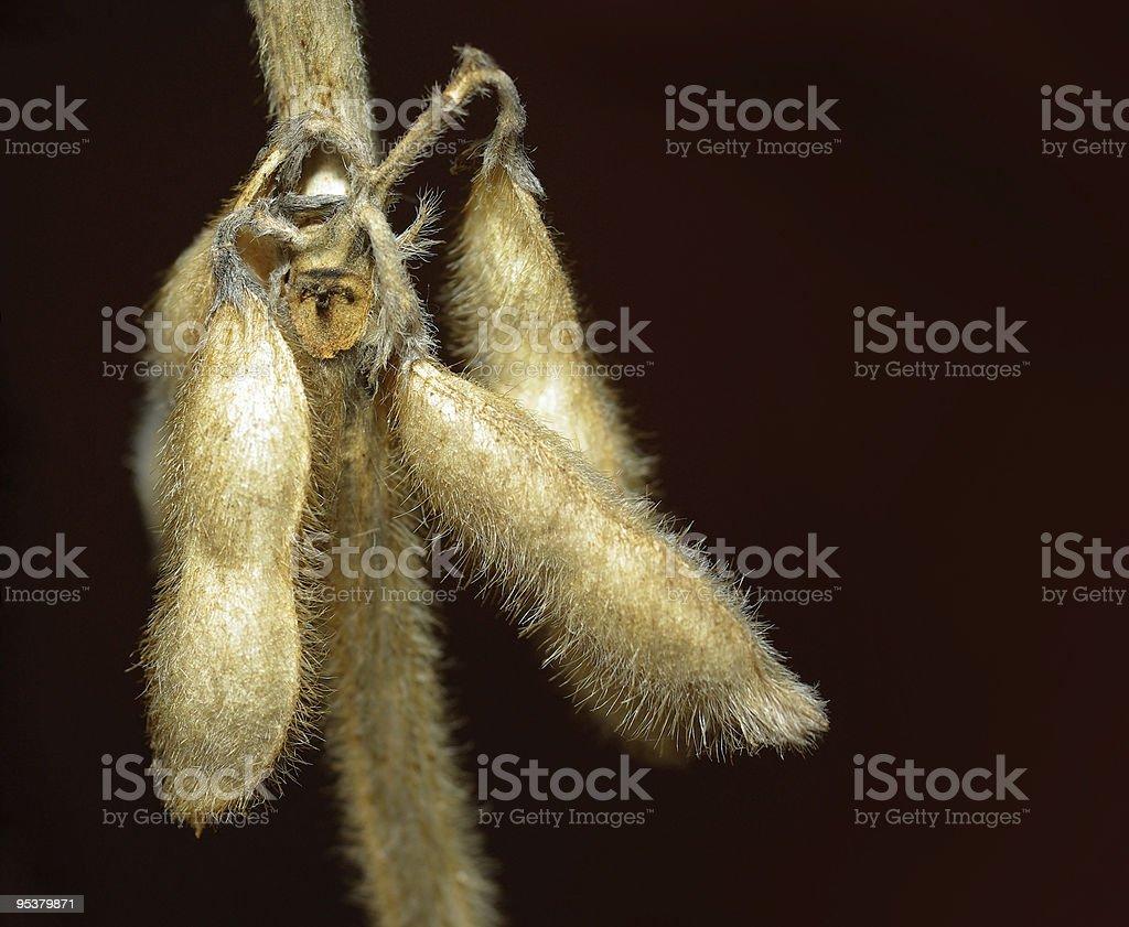 Soybean closeup royalty-free stock photo