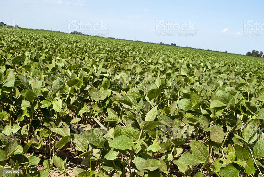 . soybean crop royalty-free stock photo