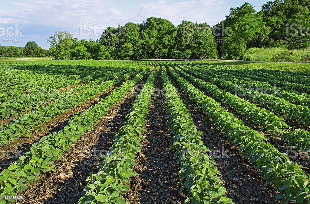 Soybean field at harvest time stock photo