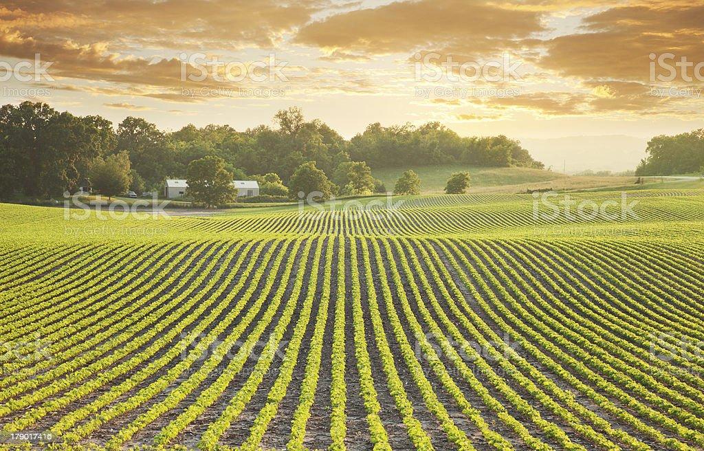 Soybean field at sundown stock photo