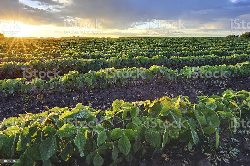 Soybean field at sunrise royalty-free stock photo