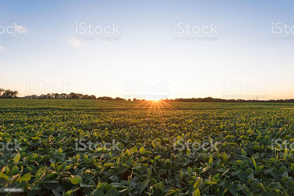 Soybean field at sunset. stock photo