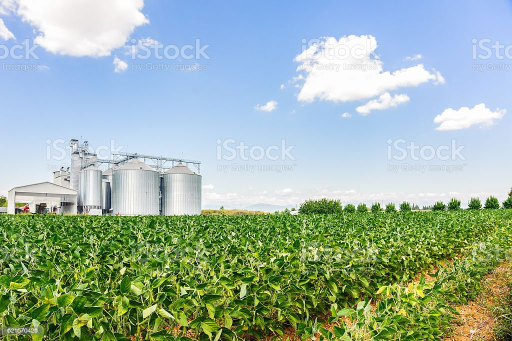Soybean field in a sunny day stock photo