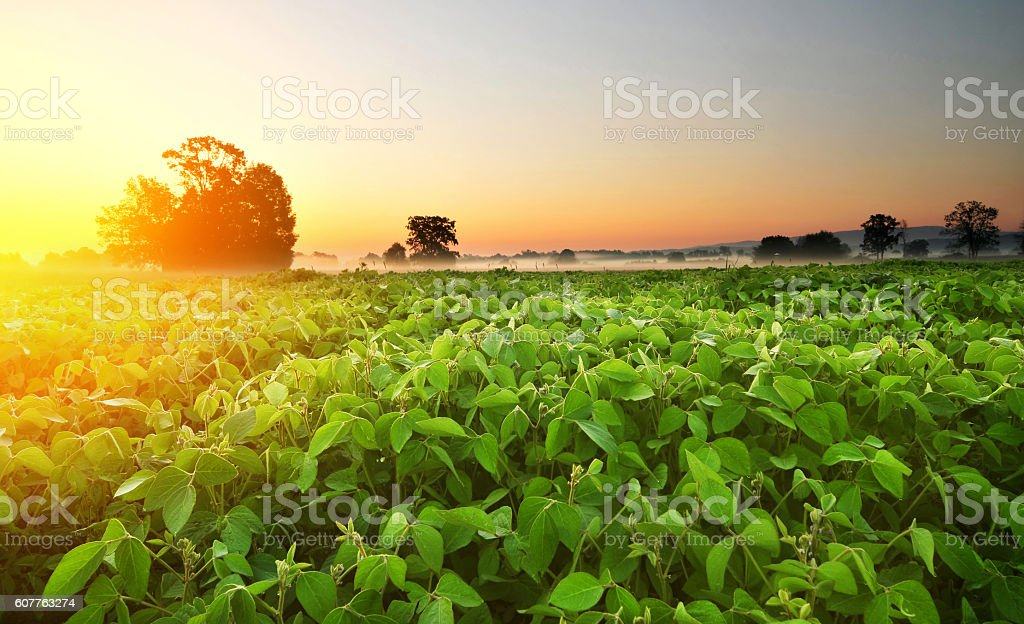 Soybean field in early morning stock photo