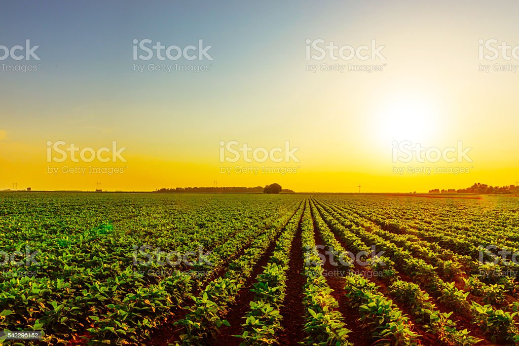 Soybean field in sunset on farm stock photo