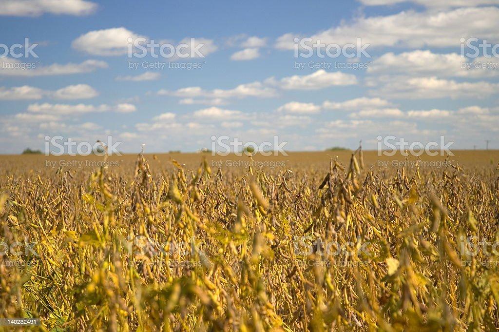 Soybean Field Landscape royalty-free stock photo