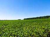 Soybean field on summer