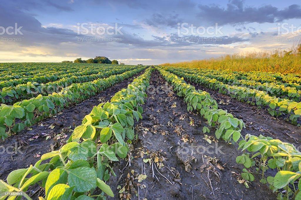 Soybean field stock photo