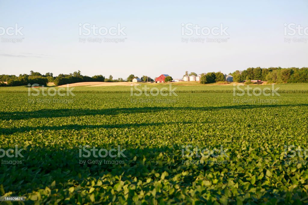 Soybean Field royalty-free stock photo