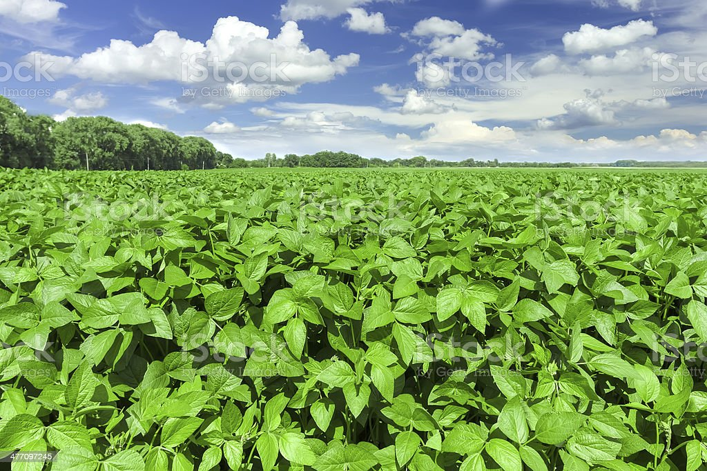Soybean field royalty-free stock photo