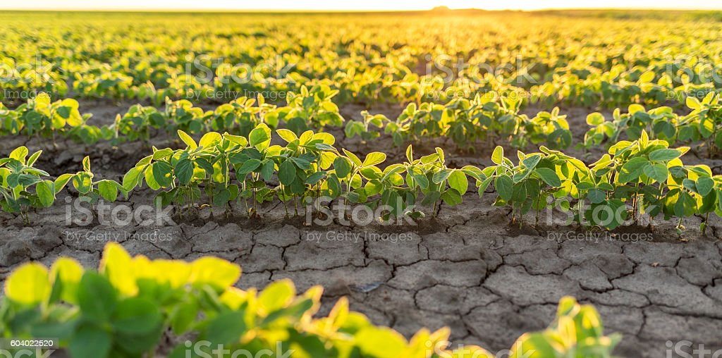 Soybean field ripening at spring season, agricultural landscape, stock photo